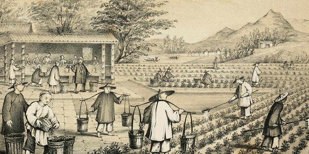 تاریخچه گیاه چای