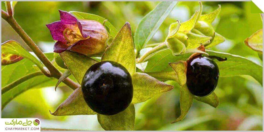 گیاه بلادن یا شابیزک چیست؟