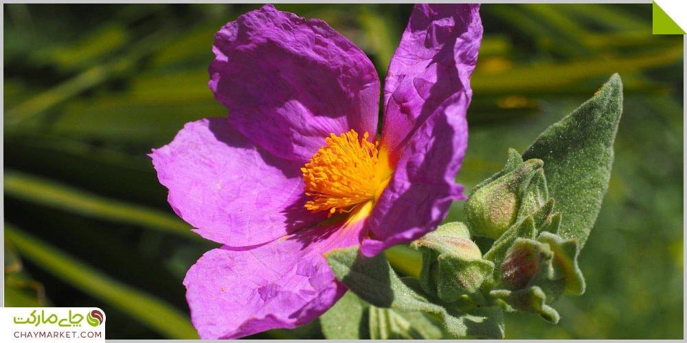 چای سیستوس، ضد ویروس طبیعی