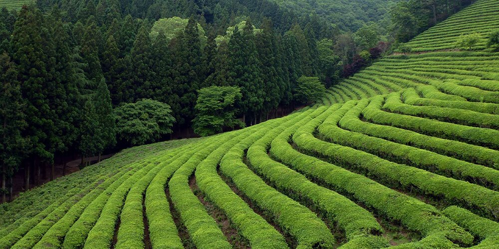 زمینهای کشت چای